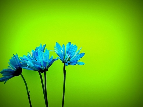 daisys flower bloom