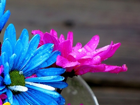 daisys flowers rain
