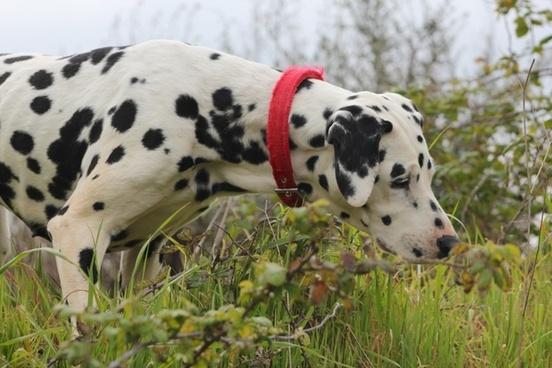 dalmatian dog canine