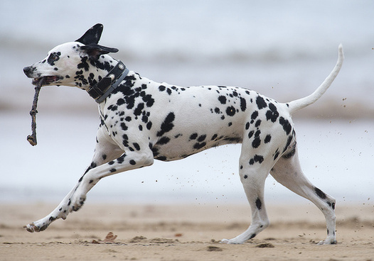 dalmatian on the beach
