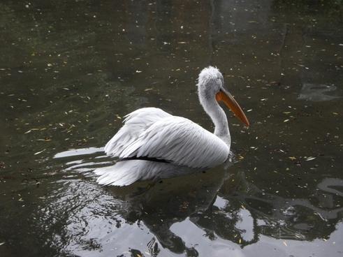 dalmatian pelican pelikan swim