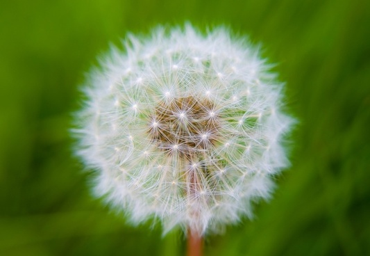 Dandelion flowers free stock photos download 10916 free stock dandelion mightylinksfo
