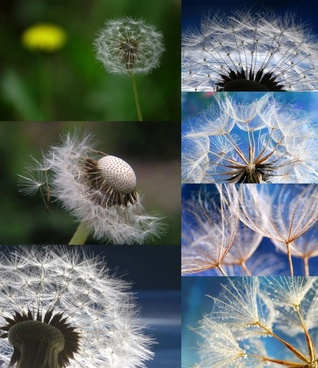 dandelion closeup highdefinition picture 7p