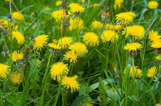 dandelion dandelions fluff
