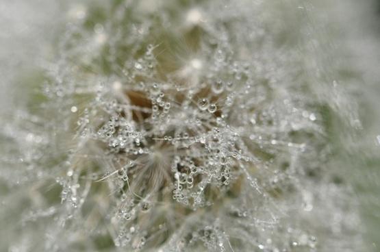 dandelion drip wet
