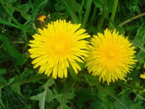 dandelion flowers flower