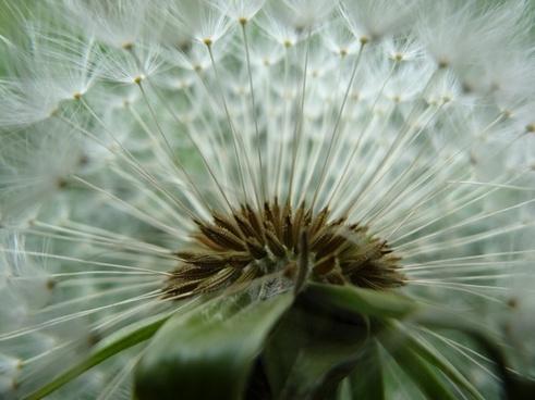 dandelion garden summer