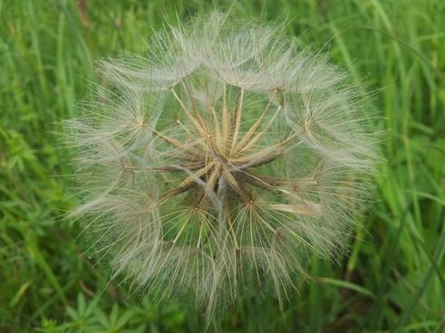 dandelion green flower