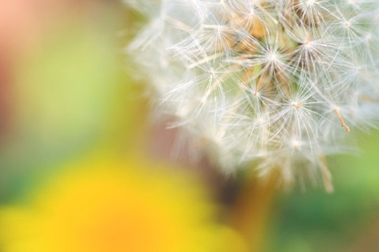 dandelion hd picture