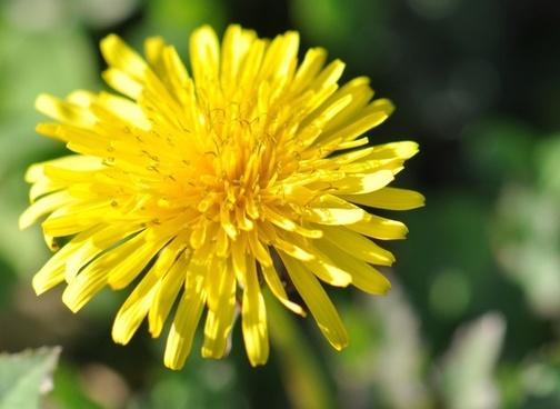 dandelion herbs flower