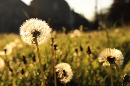 dandelion in morning