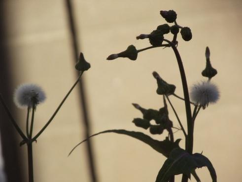 dandelion in yard