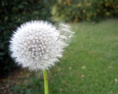 dandelion in yard 2