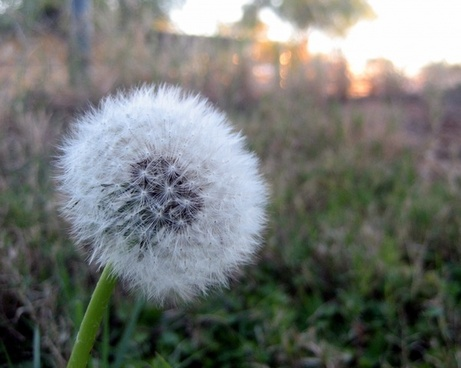 dandelion in yard 3