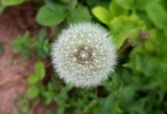 dandelion overblown plant