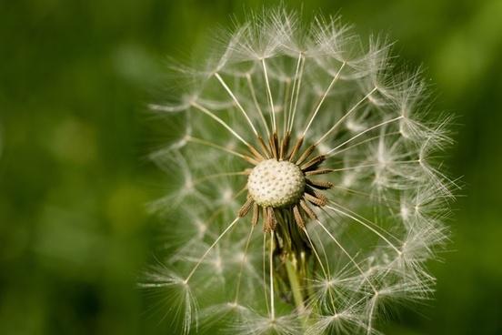 dandelion seeds flower