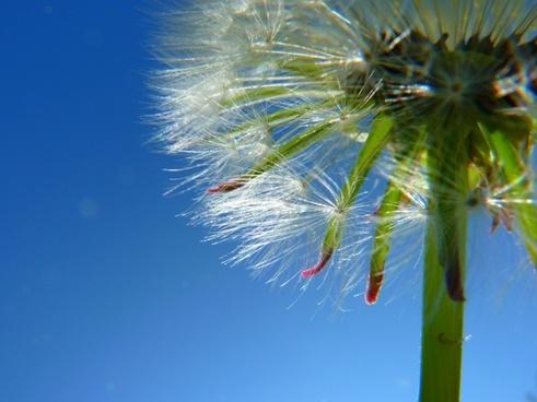 dandelion seeds plant