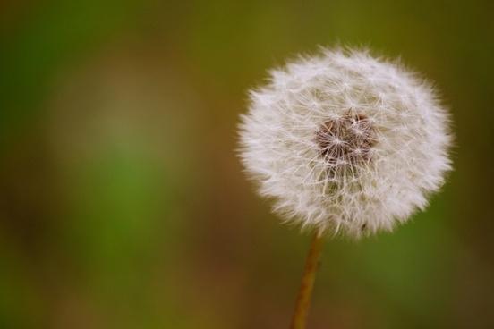 dandelion seeds prado
