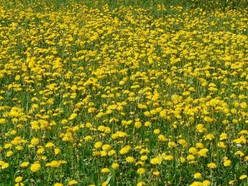 dandelion taraxacum yellow