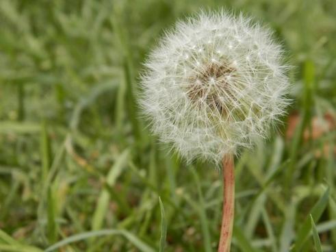 dandelion weed seed