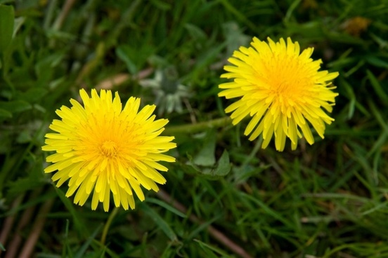 Dandelion flowers free stock photos download 10916 free stock dandelions mightylinksfo