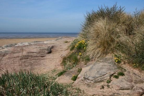 dandelions at the seaside
