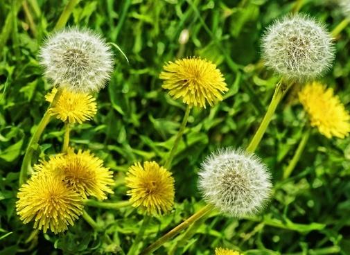 dandelions flower dandelion