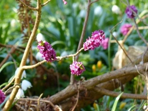 daphne smell bloom