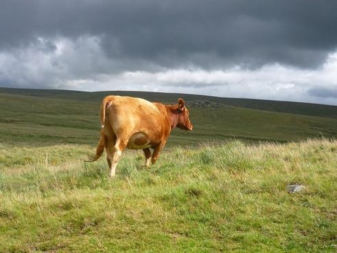 dartmoor cattle