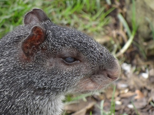 dasyprocta fuliginosa animal wildlife
