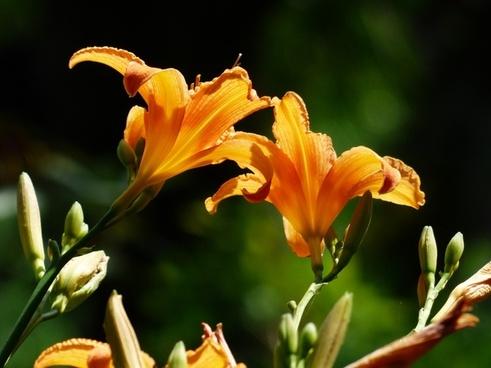 daylily lilies yellow red daylily