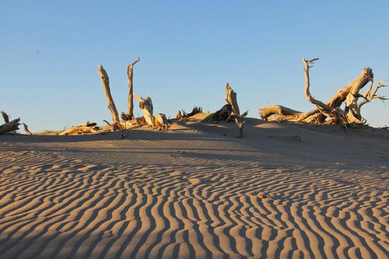 dead desert poplar