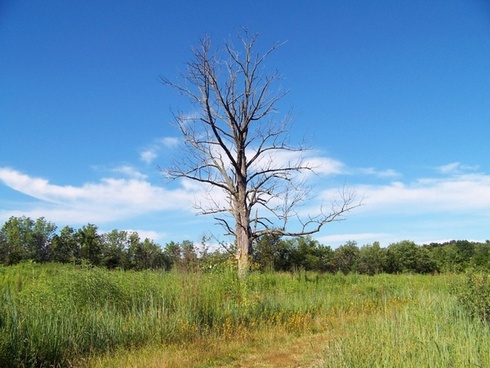 dead tree in field