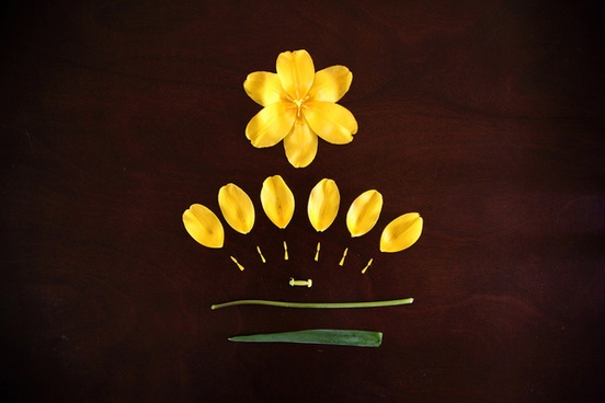 deconstructed yellow tulip