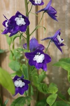 deep purple aquilegia