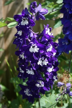 deep purple aquilegia 2