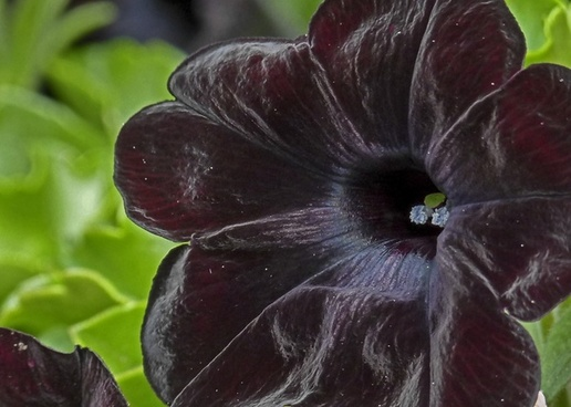 deep red black black flower
