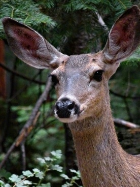 deer animal nature