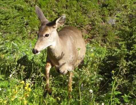 deer in my midst
