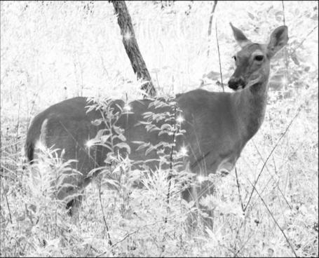 deer in sparklewoods