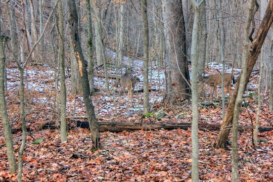 deer in the winter forest at weldon springs state natural area missouri
