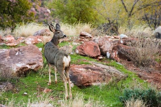 deer standing in grass 038 rocks