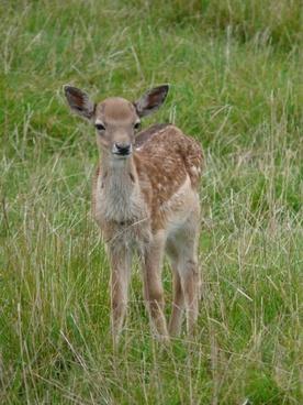 deer young animal nice