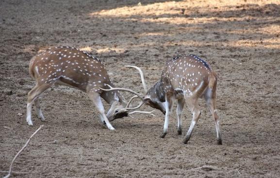 deers fight male