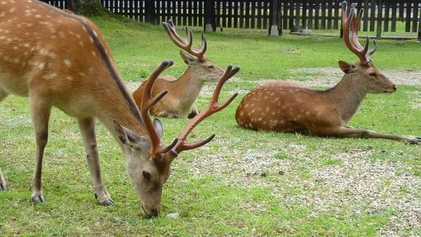 deers sika deers animals