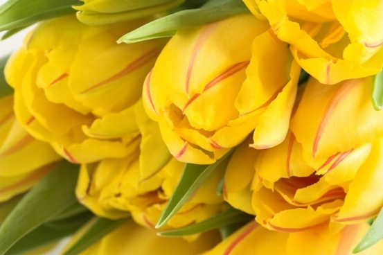 delicious yellow tulips 01 hd pictures