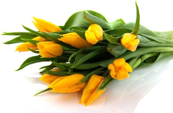 delicious yellow tulips hd picture