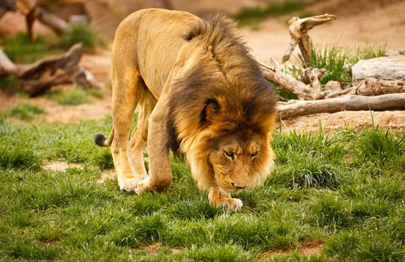 denver zoo mikes camera photo safari amp test drive lion