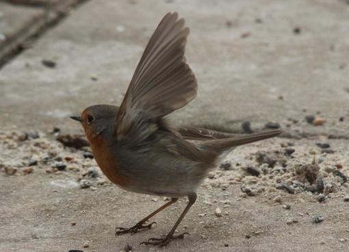 departure robin bird