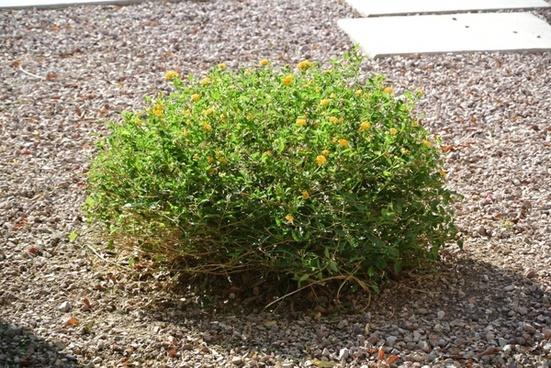 desert bush 103